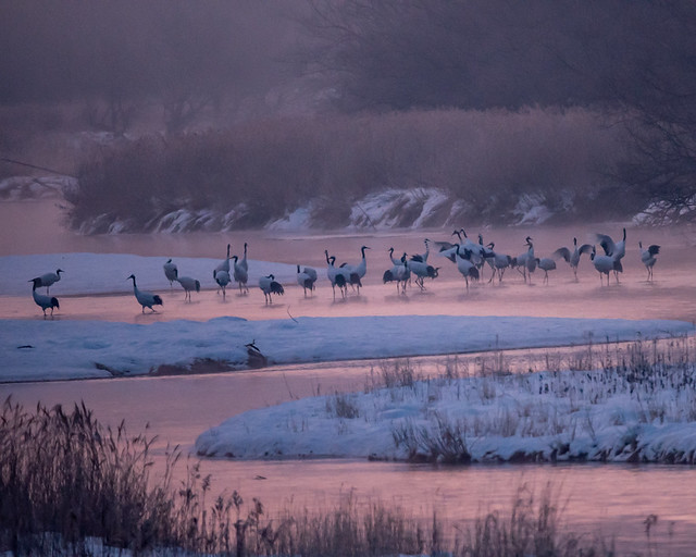 Japanese red-crowned cranes waiting for dawn
