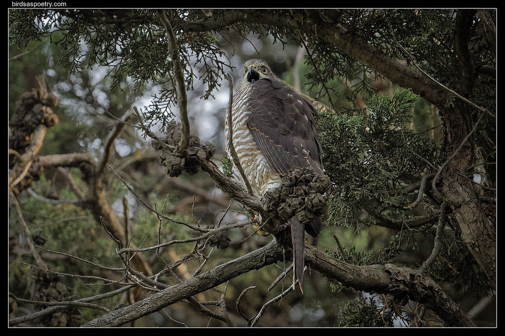Collared Sparrowhawk: Look out World here I Come