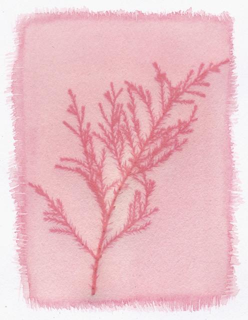Anthotype 4 - Japanese Cedar