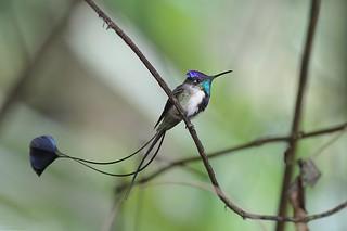 Marvelous Spatuletail / Colibri Maravilloso (Loddigesia mirabilis)