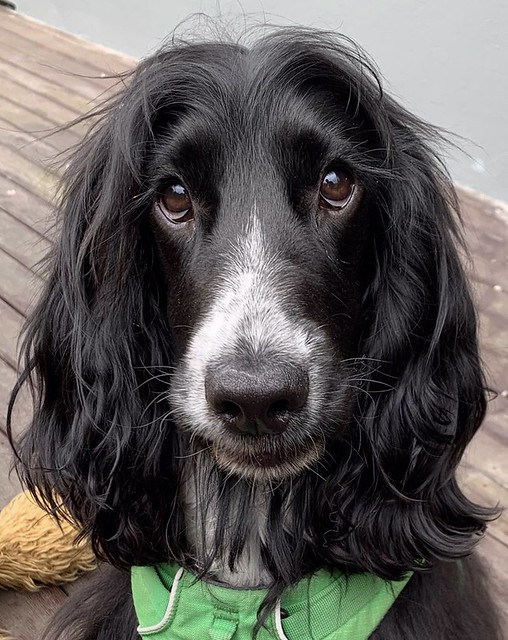 Basil.....the English Cocker....from New Zealand
