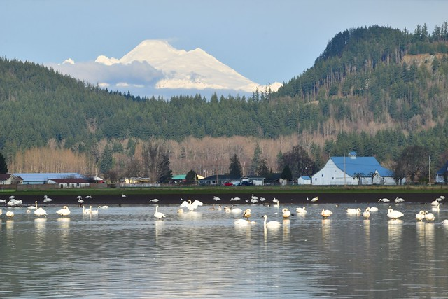 Mount Baker and Swans 1