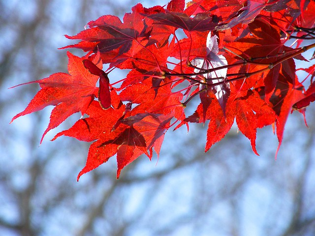 Brilliant Red Leaves