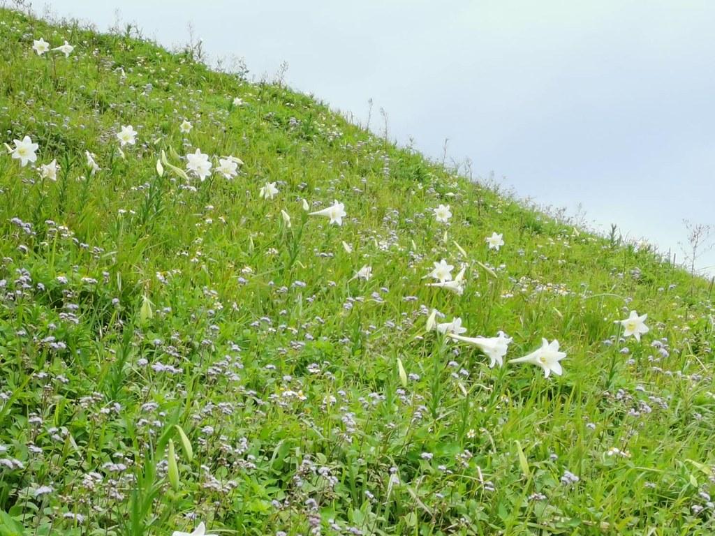 粗莖麝香百合在原棲有如王者,受紫花霍香薊簇擁,形成美麗景觀。攝影:李權裕