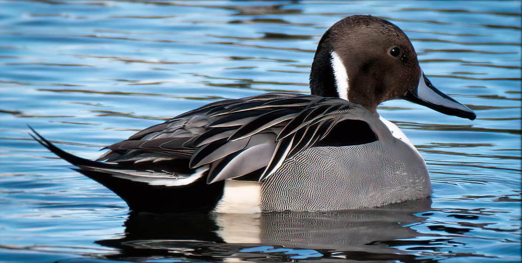 Picturesque Pintail