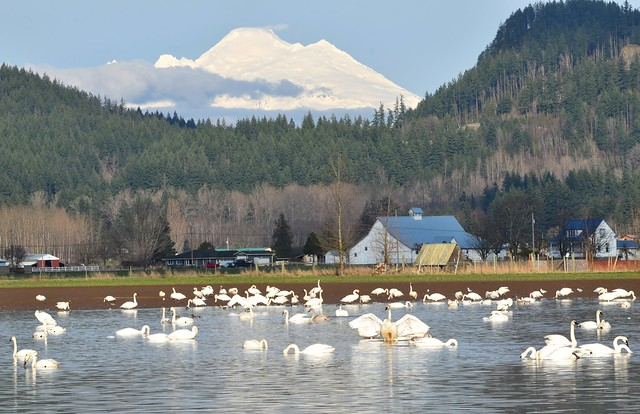 Mount Baker and Swans 2