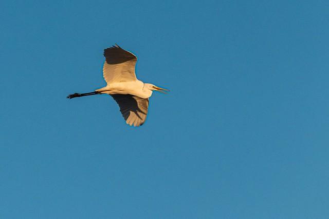 Flying great egret at sunrise