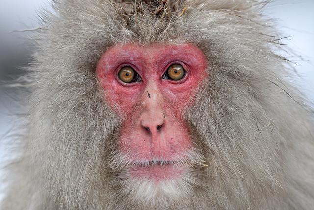 s 18022020_Snow Monkey_DSC_3631