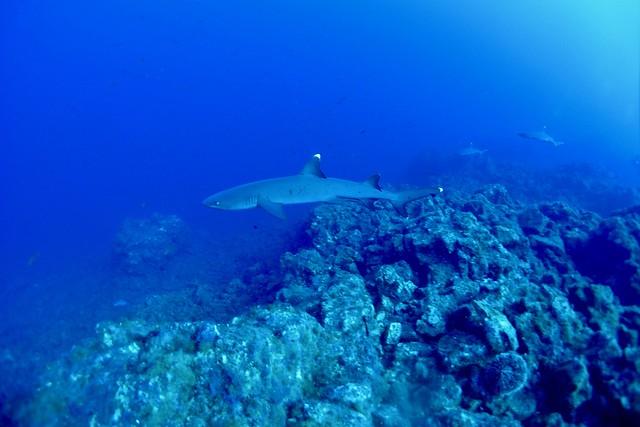 Requin pointe blanche
