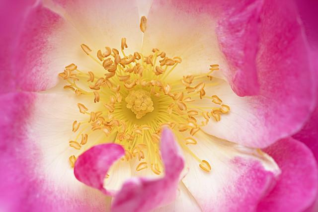 Rosa 'Erfurt' Rose