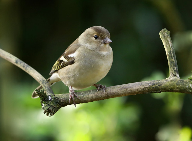 Female Chaffinch --- Fringilla coelebs