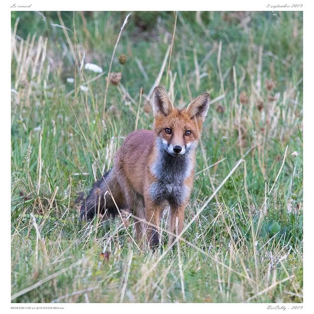 Goupil   Fox