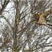 Sparrowhawk.
