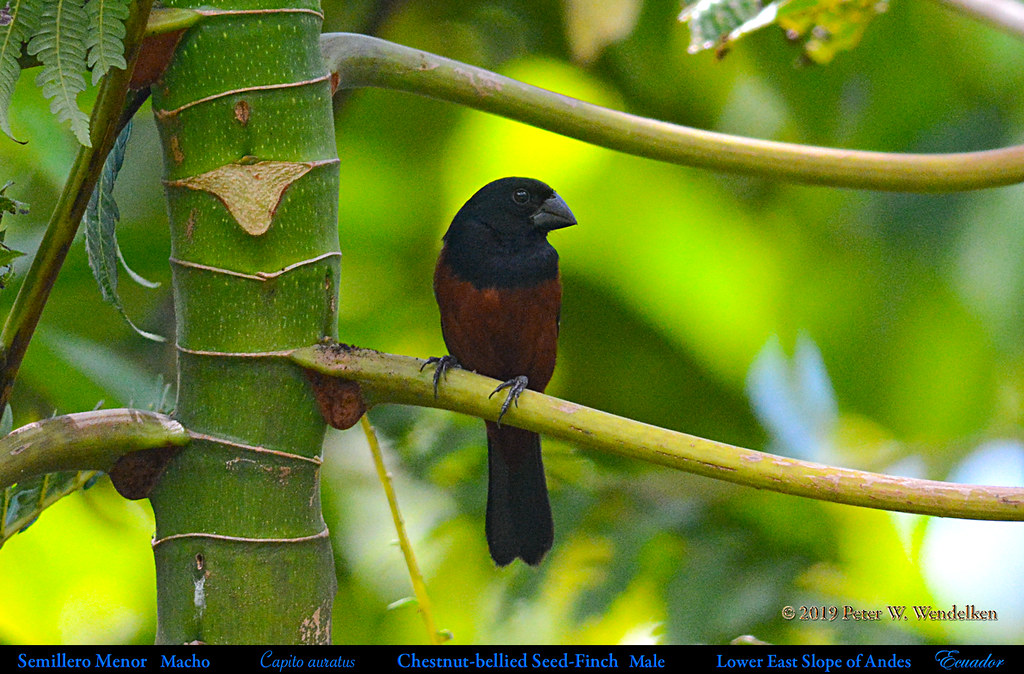 CHESTNUT-BELLIED SEED-FINCH Male Sporophila angolensis  on the Eastern Slope of the Andes in Ecuador. Photo by Peter Wendelken.