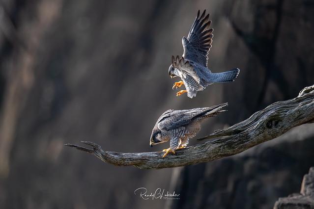 Peregrine Falcon - Falco peregrinus   2020 - 1