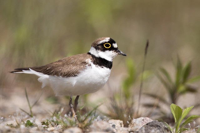 Little Ringed Plover - Flussregenpfeifer