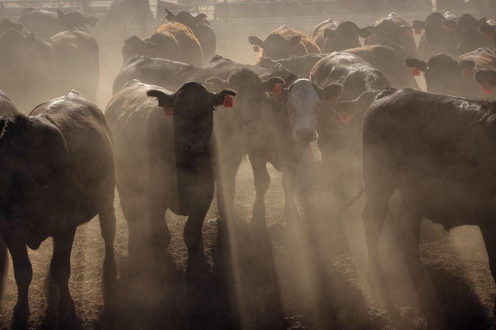 Restless cattle
