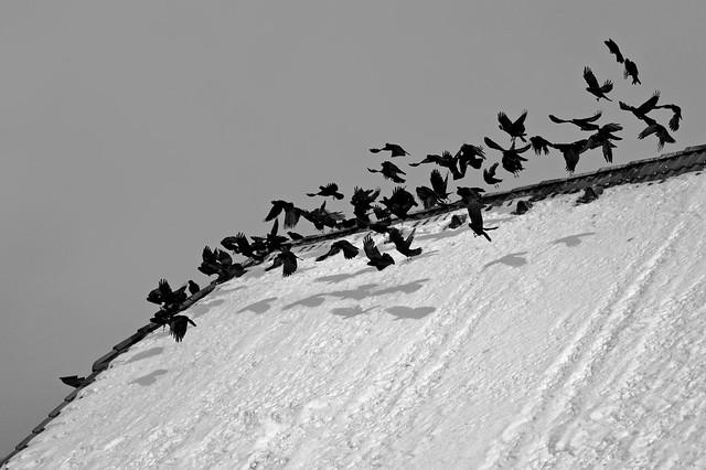 AUFFLIEGENDE ALPENDOHLEN . FLYING UP ALPINE CHOUGHS