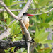 Black-capped Kingfisher