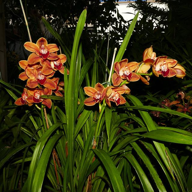 Cymbidium Legendary Karen hybrid orchid 2-20