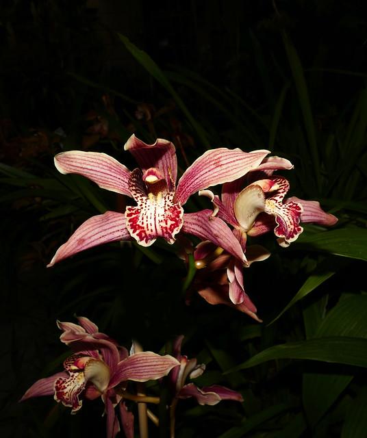 Cymbidium Memoria Leland Williams hybrid orchid 2-20