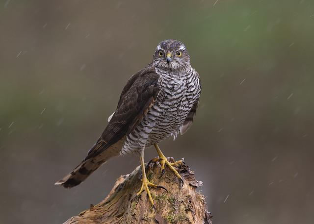 Female Sparrowhawk in the rain!