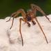 Amaurobius fenestralis (2)