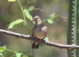 Croaking Ground-Dove (Columbina cruziana)