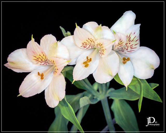 White Alstroemeria - Parrot lilly-1
