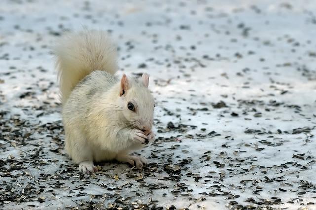 Écureuil gris de Caroline --- Eastern gray squirrel --- Ardilla gris de las Carolinas