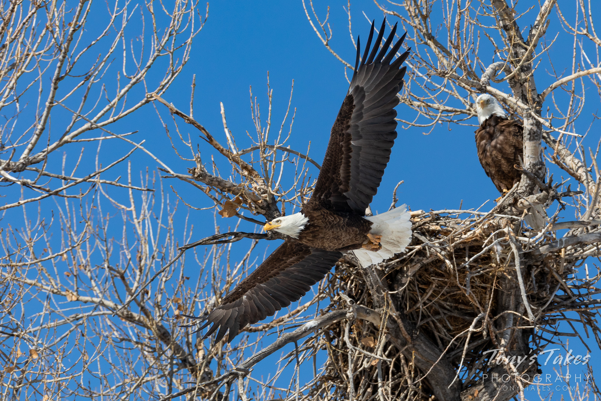 A male bald eagle departs its home while its mate looks on. (© Tony's Takes)