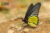 The Golden Birdwing - ผีเสื้อถุงทองธรรมดา