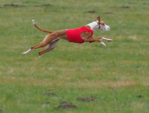 Greyhound Races in Babenhausen, Hesse, Germany - 2017