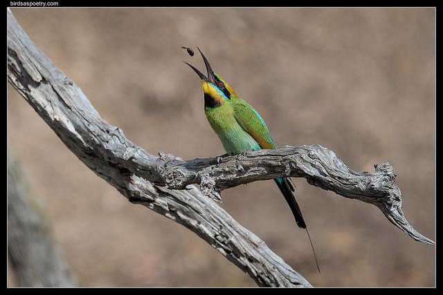 Rainbow Bee-eater: Don't Miss!