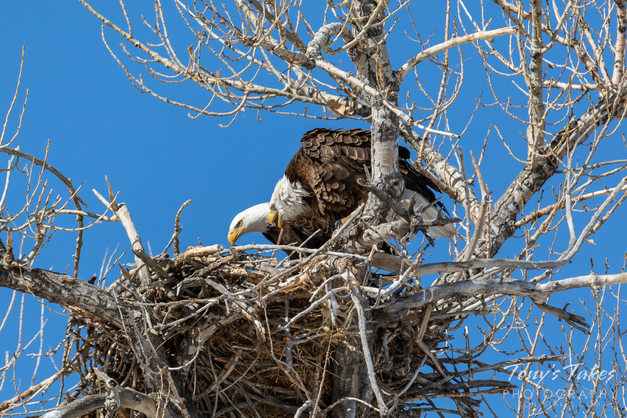 A female bald eagle scolds an intruding male at her nest. (© Tony's Takes)
