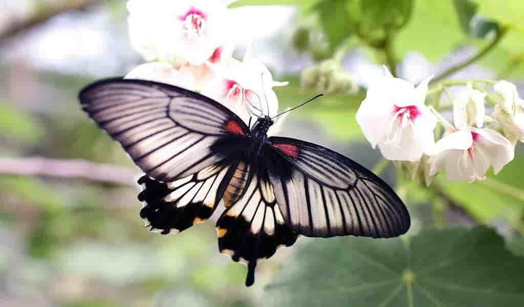une-aile-de-paipillon-biologique-qui-peut-être-utilisée-comme-une-batterie