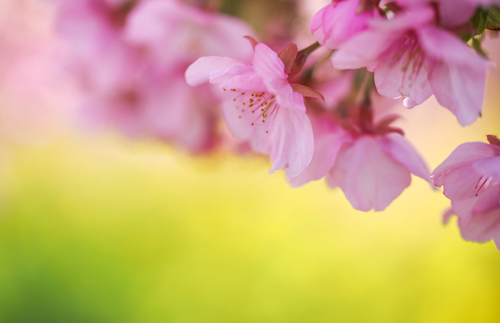 Early blooming cherry blossoms 河津桜