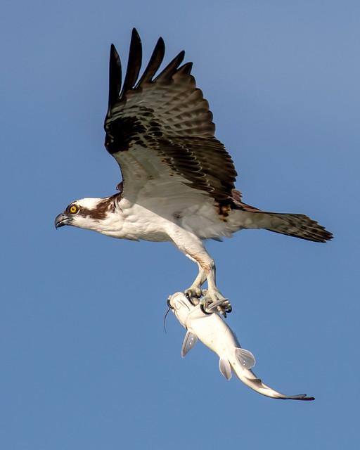 Osprey Inflight with Catfish