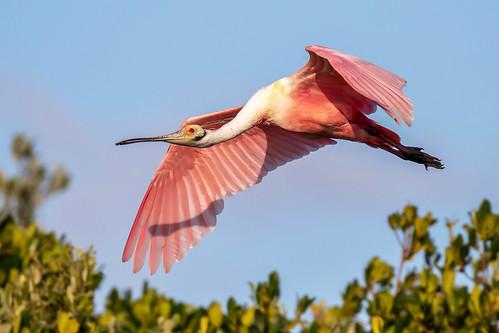 outdoor dennis adair sky nature wildlife 7dm2 7d ii ef100400mm canon florida bird bif flight
