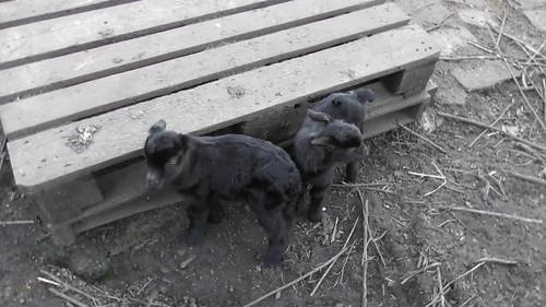 Baby goats Feb 20