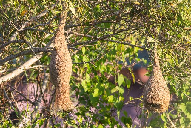 Baya Weaver nests