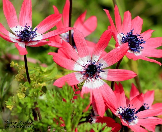 The Wondrous Beauty of Wildness...Anemones