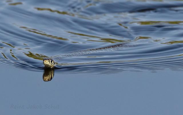 Ringslang - Grass snake - Natrix helvetica