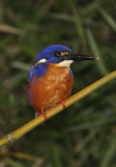 Azure Kingfisher 002