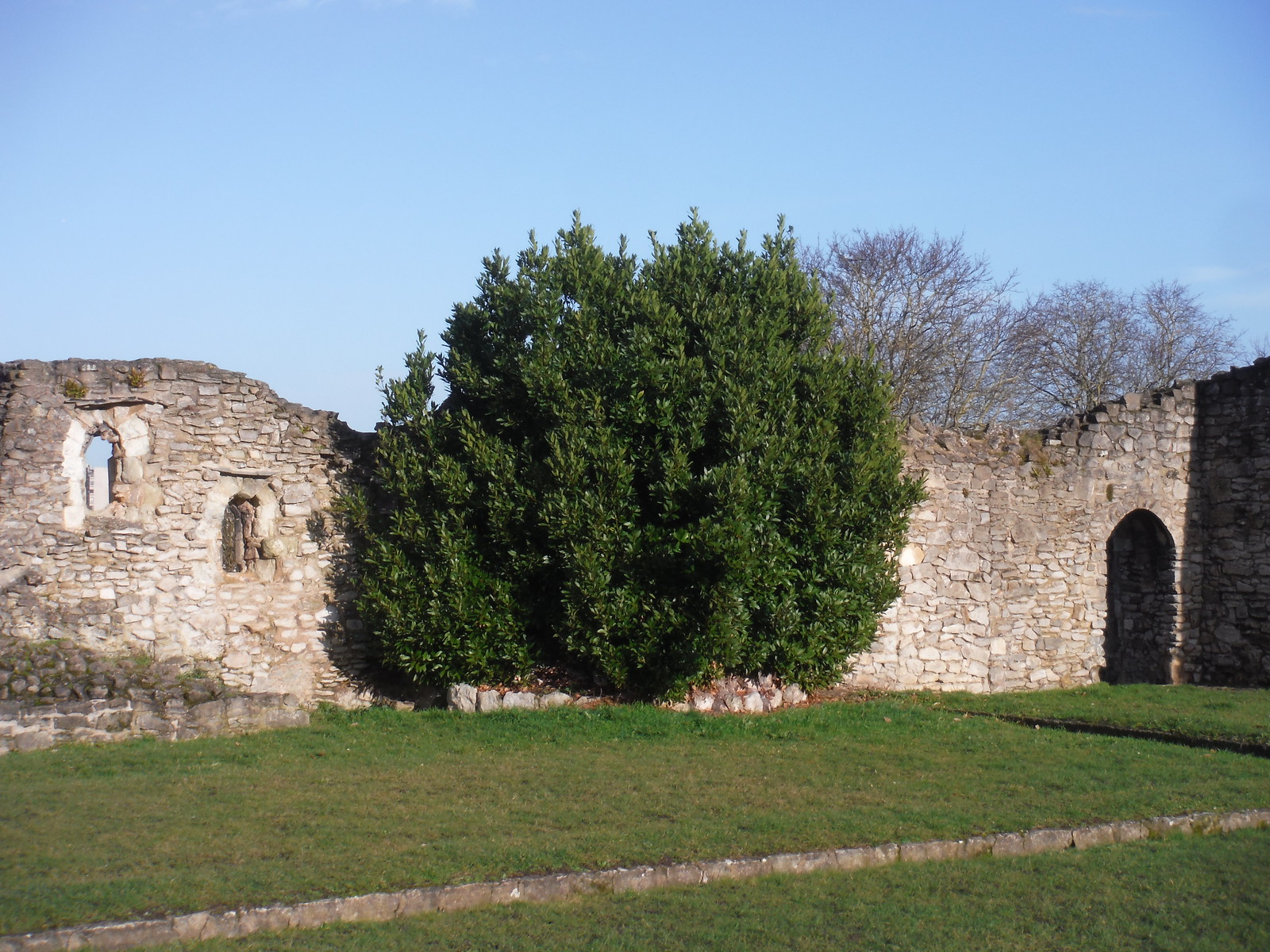 Tree Growing in Abbey Ruins' Corner SWC Short Walk 43 - Lesnes Abbey Woods with Bostall Woods (Abbey Wood Circular)