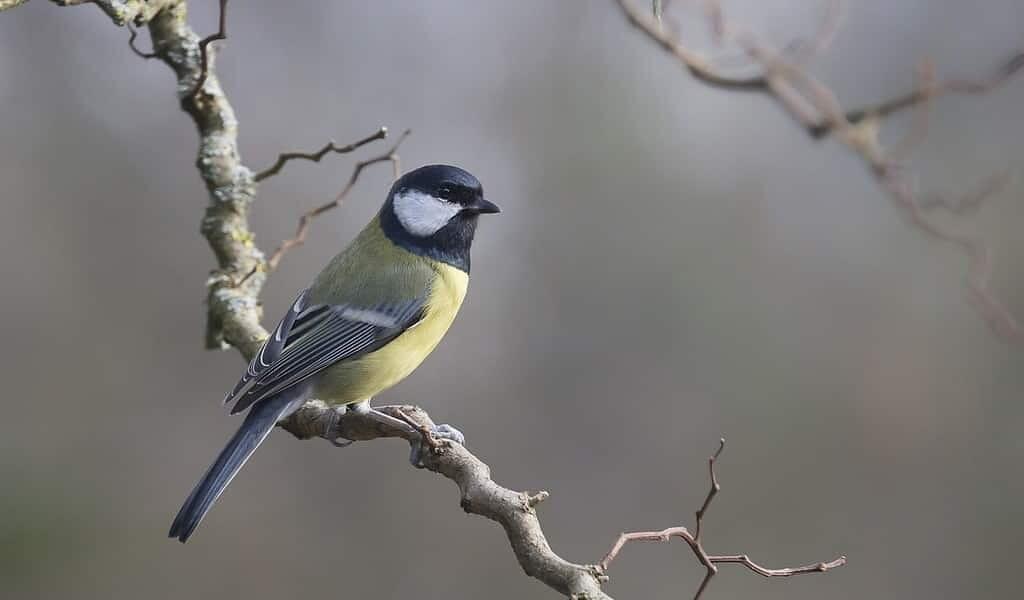 les-mésanges-bleues-évient-certains-aliment-en-regardant-la-réaction-des-autres-oiseaux