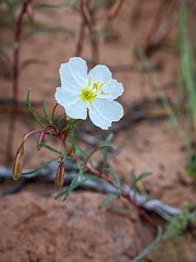IMGPL03768_Fk - Arches National Park - Moab UT - Double Arch - Wildflower