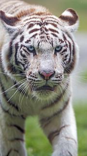 Close portrait of a tigress