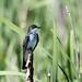 IMG_9354   Eastern Kingbird, Canada