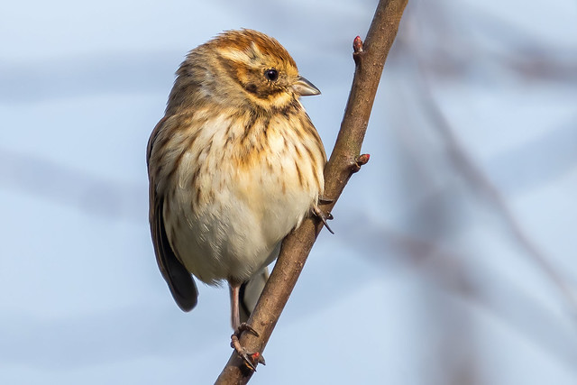 Reed Bunting........